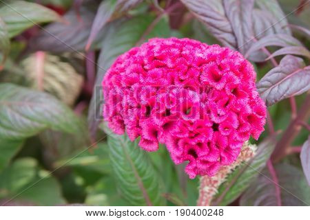 Cockscomb or Celosia flower on a colorful leaf background.