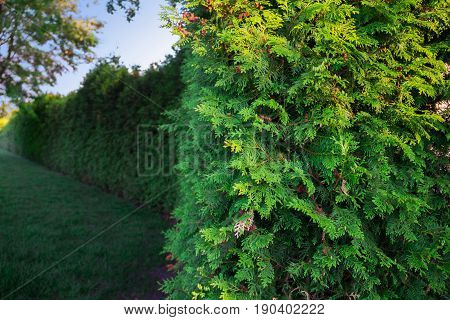 park, surrounded by a beautiful green landscape with thuja