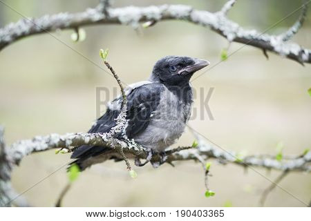 Chick Young Crows Closeup