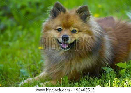 Small German Spitz Dog On Summer Lawn