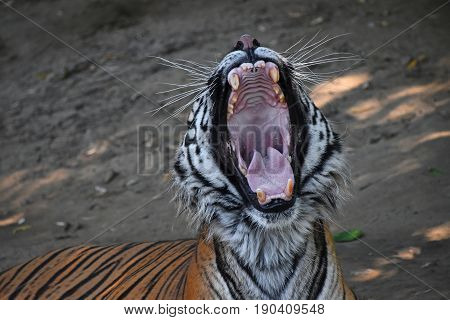 Close Up Portrait Of Sumatran Tiger Yawning