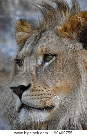 Extreme Close Up Side Portrait Of African Lion