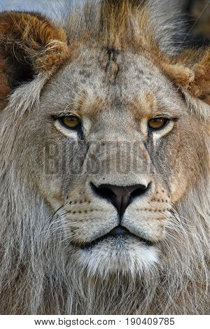 Extreme Close Up Portrait Of Young African Lion