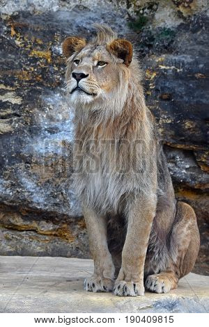 Young Male African Lion Sitting On The Rock