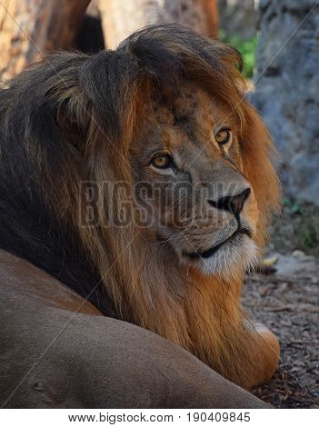 Close Up Portrait Of African Lion Resting