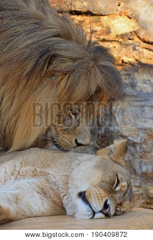 Close Up Side Portrait Of Lion And Lioness