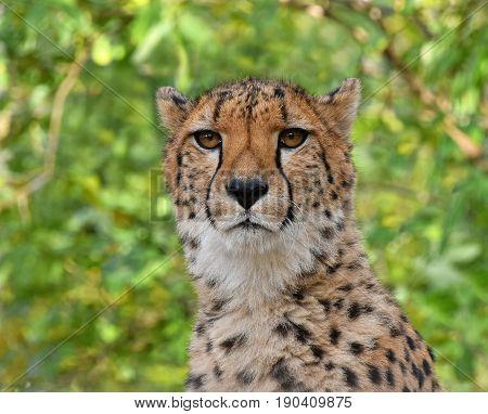 Close Up Portrait Of Cheetah