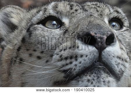 Extreme Close Up Portrait Of Snow Leopard