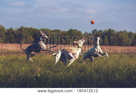 Whippet dogs play with orange smoll ball in grass in summer