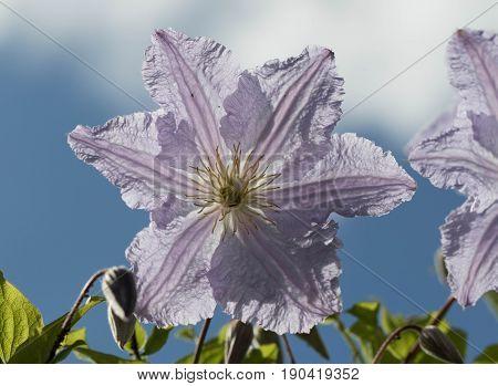 Clematis, Waldrebe, Blüte, Sonnenschein, Kletterpflanze,  Hintergrund, Florisik