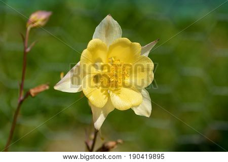 Pale Yellow Aquilegia Flower