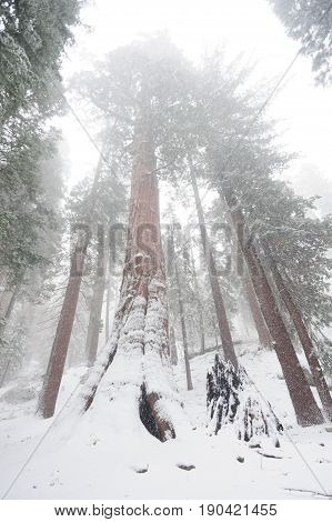 Impression of the Giant Sequoia's covered in Sequoia and King's Canyon National Park, California, USA.