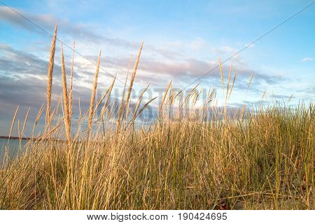 Dune Grass Beach Background.  Dune grass blows in the summer breeze with the blue water of Lake Huron in the background