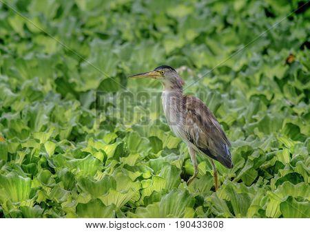 Bird (Yellow Bittern(Ixobrychus sinensis) in nature of Thailand