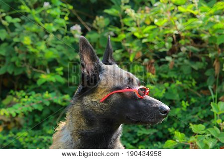 Portrait of a Malinois Belgian sheepdog wearing red glasses