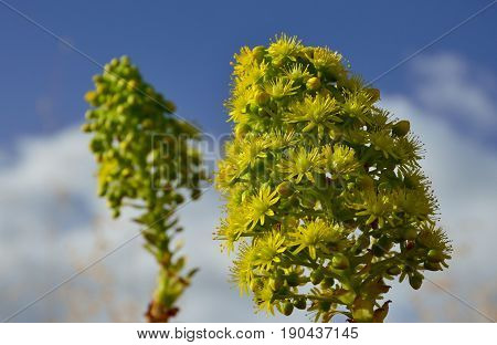 Flower of aeonium in foreground and sky background