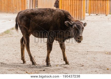 Young Beautiful Bison