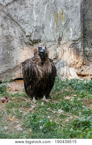 Bird Vultures Standing On Grass