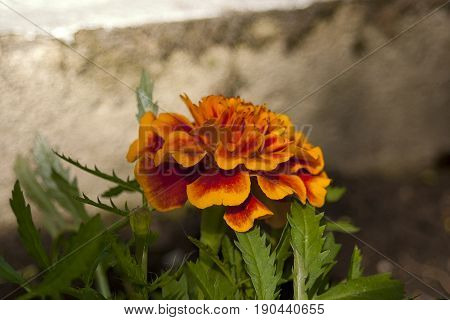 Blossom of the red marigold Latin name Tagetes .