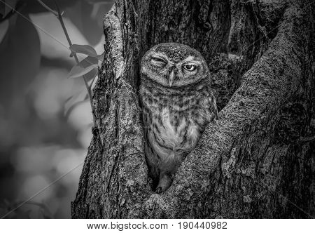 Spotted Owlet standing next to wooden posts