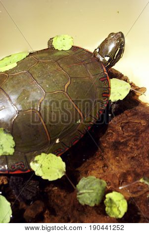 One image of a series of natural closeup portraits of this native North American Painted Turtle.