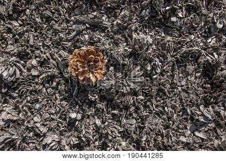 Open brown pine cone with seeds on grey textured background made of dry cutted wood and broken cones