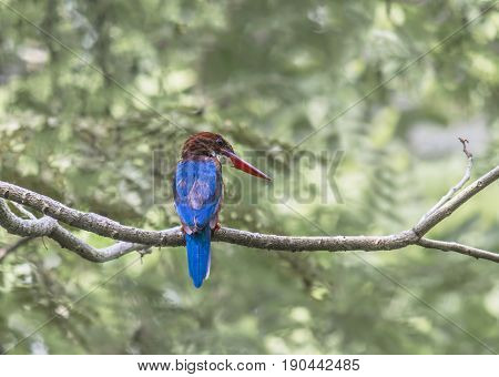 White throated Kingfisher Halcyon Smyrnensis Birds of Thailand