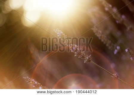 Sunny lavender flower in summer with sunlight
