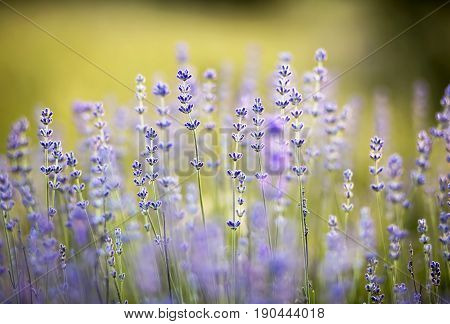 Blooming lavender flowers - herbal and health concept