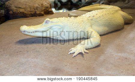 Albino Alligator or white Mississippian alligator resting next to the river rocks North America