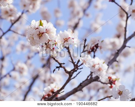 A flowering apricot tree on blue sky background. Bumblebee pollinating flowers