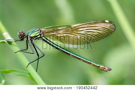 a Demoiselle (Calopterygidae) on the blade of grass