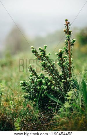 Young Small Fir Tree With Water Drops In Forest. Morning Dew On Fir Tree Branches With Meadow At Bac