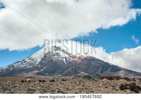 Vicugnas near stratovolcano Chimborazo Cordillera Occidental Andes Ecuador
