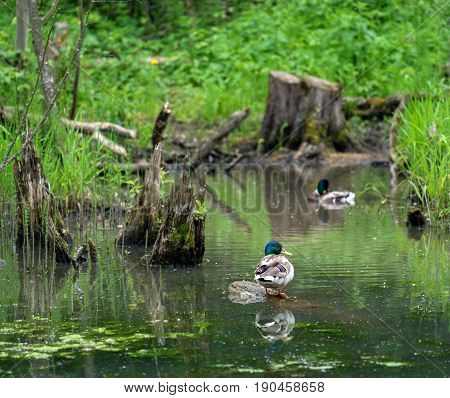 Wild duck mallard in forest pond on the background of green grass and rotten stumps