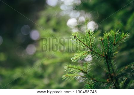 Close up of small young fir tree needles with forest at background. Spring blossom background. Image for agriculture, SPA, medical industries and diverse advertising materials.
