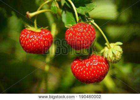 Ripe strawberries close up in green garden