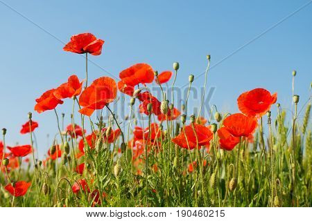 Red poppies on meadow on blue sky background