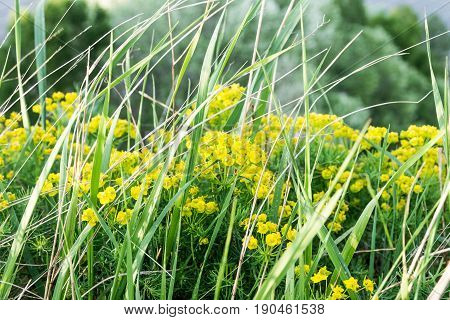 Wildflowers. Yellow Flowers. Field Flowers Are Yellow. Background Of Yellow Plants.