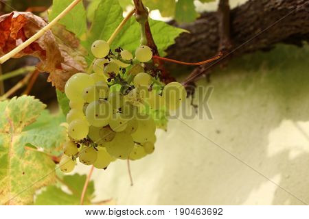 Bunch of grapes on a vine in a garden