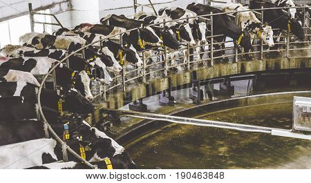 Cow milking facility, special equipment for milking, Cows in dairy farm