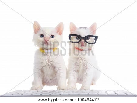 Two fluffy white kittens wearing bright collars sitting on a white surface with computer keyboard in front of them isolated on white background. One kitten wearing black glasses.