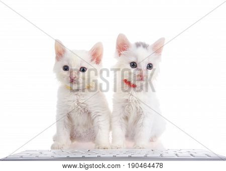 Two fluffy white kittens wearing bright collars sitting on a white surface with computer keyboard in front of them isolated on white background.