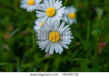 Chamomile Garden White Flowers Of German Chamomile Daisy.