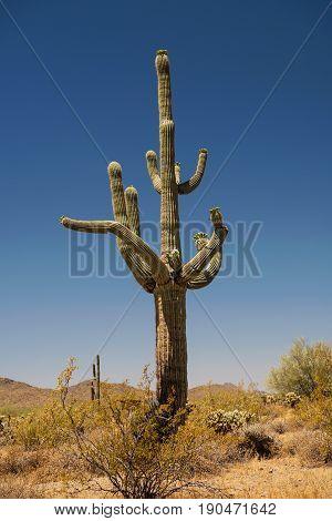 White Saguaro blossoms the official state flower of Arizona start sprouting on a giant Saguaro Cactus in Phoenix Sonoran Desert Preserve near Phoenix Arizona USA
