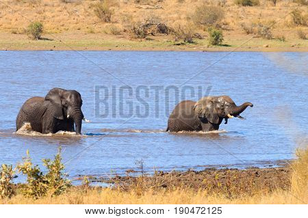 Elephant Fighting From Kruger National Park, Loxodonta Africana
