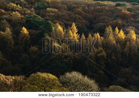 Shimmering autumn leaves in a forest in Lancashire