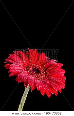 Red Gerbera With Water Droplets With Black Background