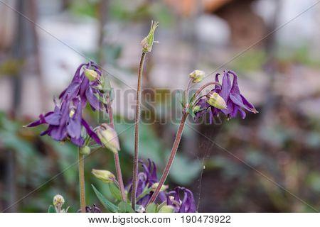 The Hand Bell Grows. Flower Olokolchik. Violet Flower