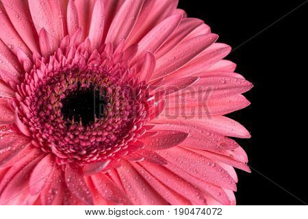 Pink Gerbera Flowerhead With Black Background And Water Droplets